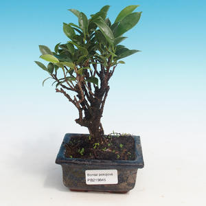 Room bonsai - Ficus retusa - small ficus