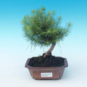 Indoor bonsai-Pinus halepensis