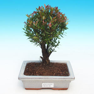 Room bonsai - Syzygium - Pimentovník