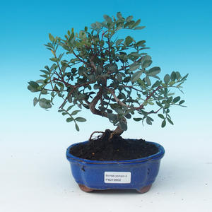 Room bonsai-pistachios