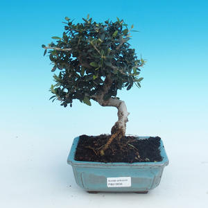 Indoor bonsai - Olea europaea sylvestris -Oliva european tiny