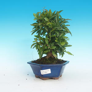 Room bonsai-PUNICA granatum-pomegranate