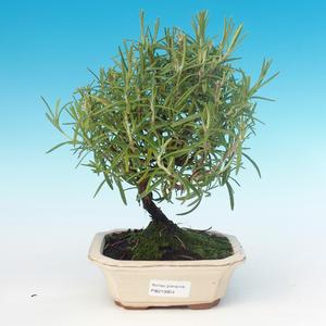 Room bonsai - Rosemary-Rosmarinus officinalis
