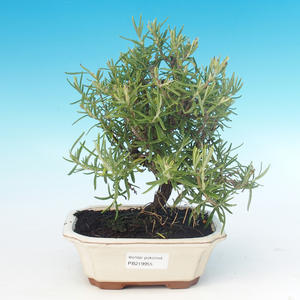 Room bonsai - Rosemary-Rosmarinus officinalis
