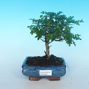 Room bonsai - Zantoxylum piperitum - pepper