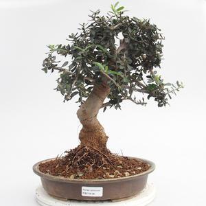 Room bonsai - Olea europaea sylvestris - Olive European bacilli