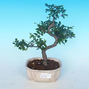 Indoor bonsai - Ulmus parvifolia - Lesser elm