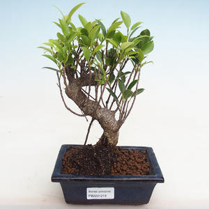 Indoor bonsai - Ficus kimmen - small leaf ficus PB2191219