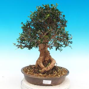 Indoor bonsai - Olea europaea sylvestris -Oliva european tiny