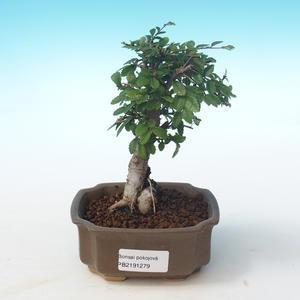 Indoor bonsai-Ulmus Parvifolia-Small leaf elm PB2191279