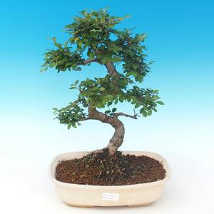Indoor bonsai - Ulmus parvifolia - Small leaf elm PB2191289
