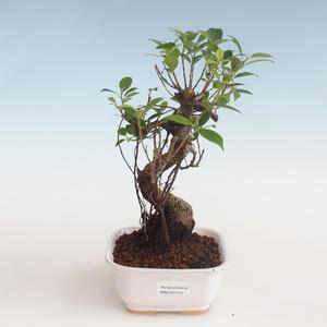 Indoor bonsai - Ficus kimmen - small leaf ficus PB2191313