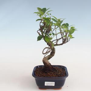 Indoor bonsai - Ficus kimmen - small leaf ficus PB2191314