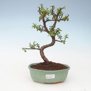 Indoor bonsai - Portulakaria Afra - Tlustice 414-PB2191353