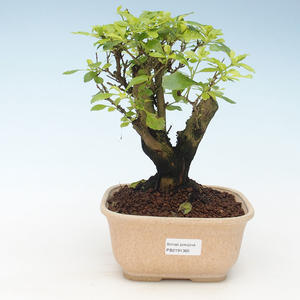 Indoor bonsai - Duranta erecta Aurea 414-PB2191365