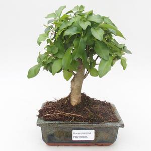 Indoor bonsai - Duranta erecta Aurea 414-PB2191366