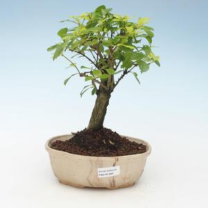 Indoor bonsai - Duranta erecta Aurea 414-PB2191368
