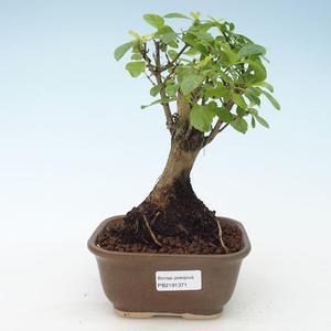 Indoor bonsai - Duranta erecta Aurea 414-PB2191371