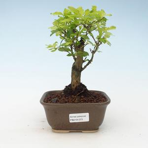 Indoor bonsai - Duranta erecta Aurea 414-PB2191373