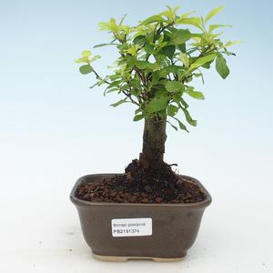 Indoor bonsai - Duranta erecta Aurea 414-PB2191374