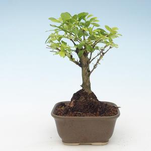 Indoor bonsai - Duranta erecta Aurea 414-PB2191377