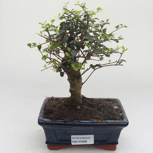 Indoor bonsai -Ligustrum retusa - Privet PB2191636