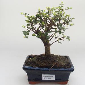 Indoor bonsai -Ligustrum retusa - Privet PB2191638
