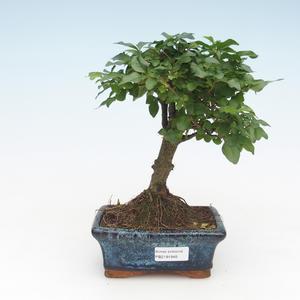 Indoor bonsai -Ligustrum chinensis - Privet PB2191691