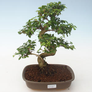 Indoor bonsai -Ligustrum chinensis - Privet PB2191692