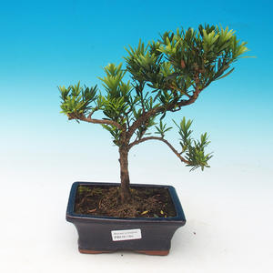 Room Bonsai - Podocarpus - Stone Thousand