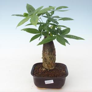 Indoor bonsai - Pachira water PB2191743