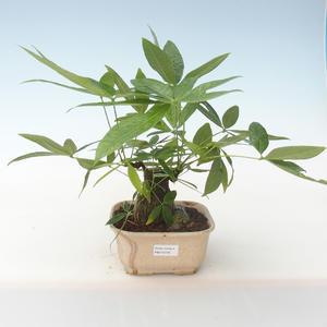 Indoor bonsai - Pachira water PB2191745