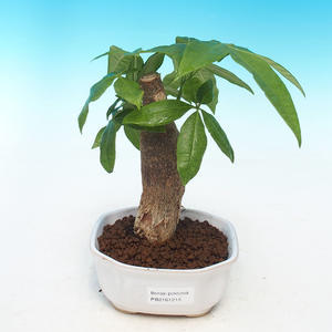 Room bonsai - Pachira water