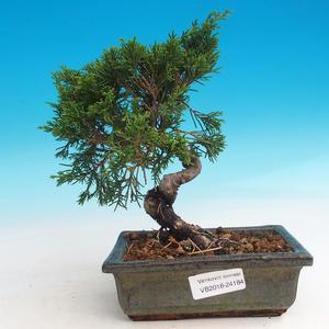 Outdoor bonsai - Juniperus chinensis Itoigava-Chinese juniper