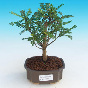 Room bonsai - Zantoxylum piperitum - pepper