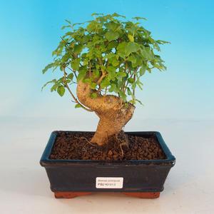 Room bonsai -Ligustrum chinensis - Bird's eye