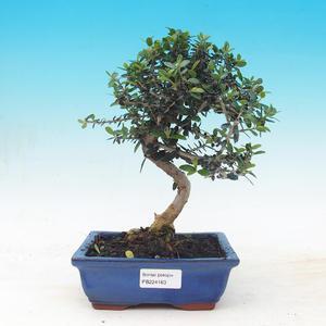 Room bonsai - Olea europaea sylvestris -Oliva European drobnolistá