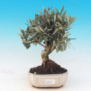 Room bonsai - Olea europaea - European Oliva