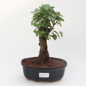 Room bonsai -Ligustrum chinensis - Bird's eye