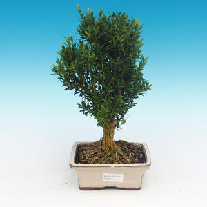Room bonsai - Buxus harlandii - cork buxus