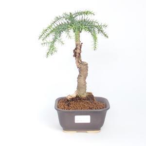 Room bonsai - Araukarie - room spruce