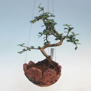 Kokedama v keramice - Čaj-fuki - Carmona macrophylla