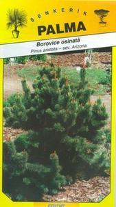 Bristlecone pine - Pinus aristata