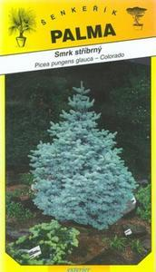 Silver Spruce - Picea glauca pungenc
