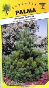 Fir Pine - Pinus leucodermis