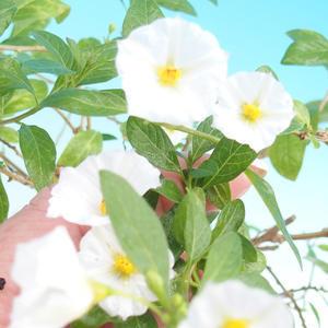 Room bonsai - Solanum rantonnetii - gentian tree