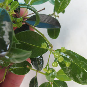Room bonsai - Eugenia unoflora - Australian cherry