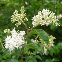 Ligustrum chinensis