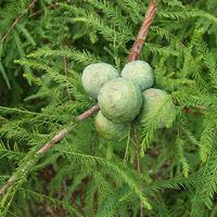 Taxodium, metasequoia