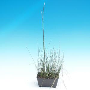 Horsetail - Equlsetum Japonicem